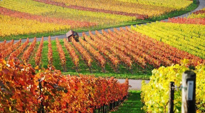 Сидераты и залужение в виноградниках: общая информация и опыт хозяйства Uppa, Севастополь