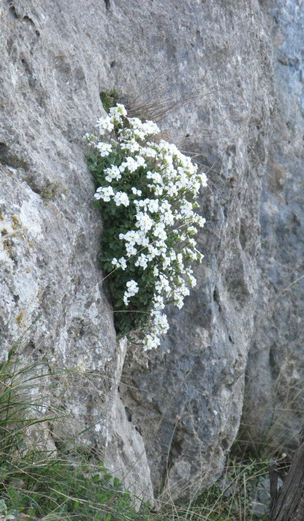 Скалы Чабан-таш. Резуха кавказская