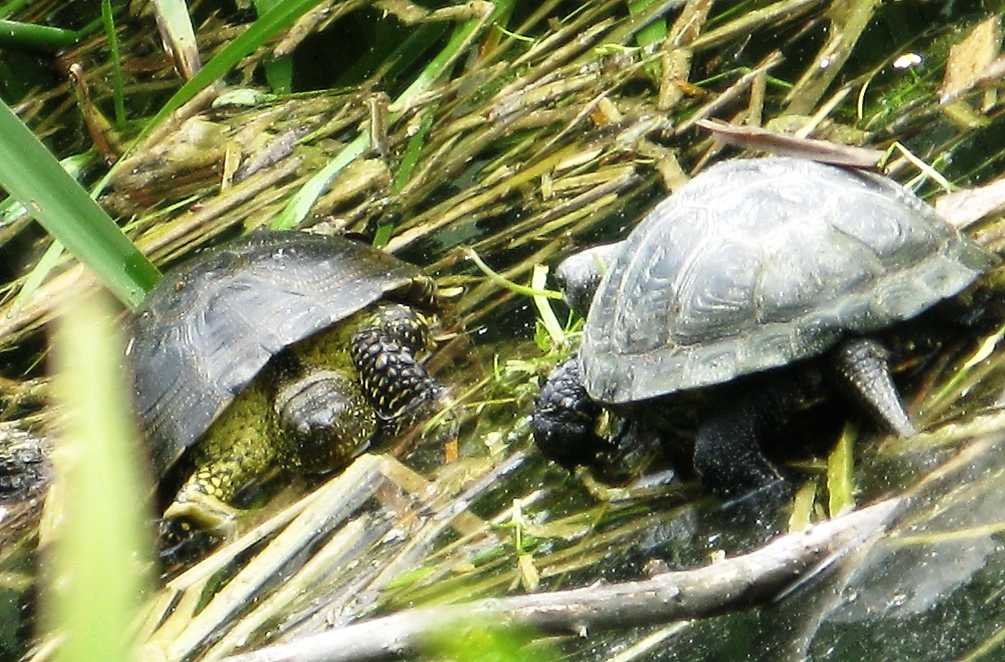 Болотная черепаха в Крыму. Крымская фауна