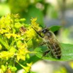 Пчела на палиурусе