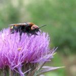 Чертополох и насекомые