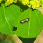 Палиурус и насекомые